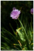Flower o Chive by The-Rover