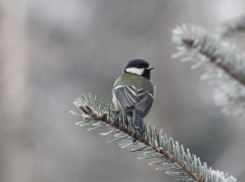 Great tit by Swallow6