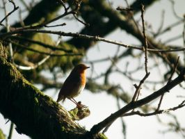 another robin by harrietbaxter