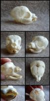 West Highland Terrier Pup Skull by CabinetCuriosities