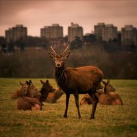 Deer in Richmond Park II by Jez92