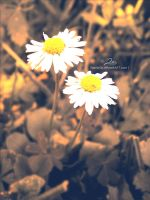 marguerites by Mandy0x