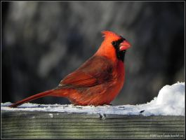 curious cardinal by Lou-in-Canada