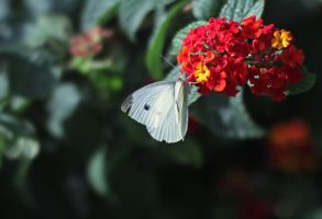 Butterfly II by Kimberly-M