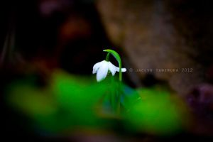 Solitary Snowdrop by jaelise