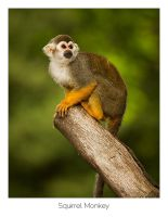 Squirrel Monkey by AlexMarshall