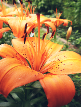 Asiatic Lilies by Eastern-Star