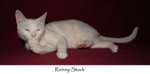 cat-yin2-stock by Rainny-Stock