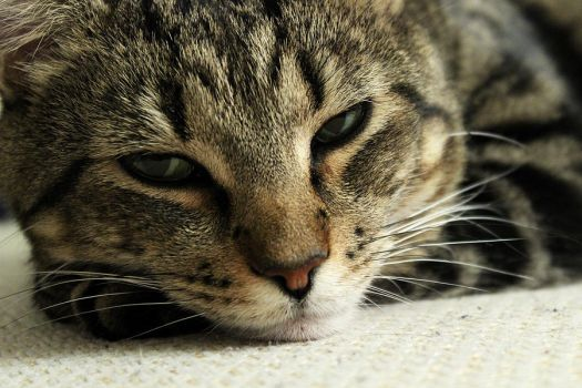 Cat by Gustavs