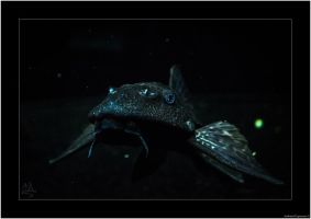 Gliding Pleco by AmbientExposures
