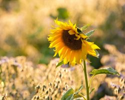 Tournesol by JakeSpain