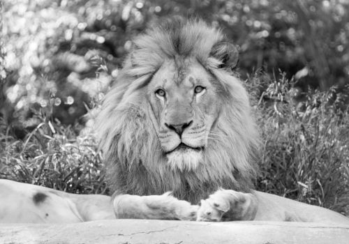 Lion by goonerscalise