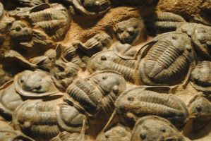 Trilobite Fossils by RegulaDestroya