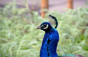 Peacock2 by Dewheart85