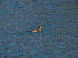 Great Crested Grebe by shaunthorpe