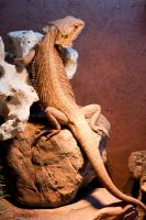 My bearded dragon by Ice-Designs