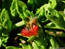 Bee on a Burst of Red by OneofakindKnight