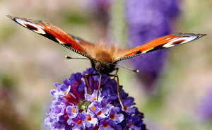 Peacock Butterfly by nicoam