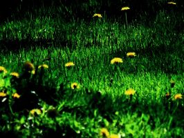 Dandelions by rmager