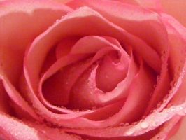 Macro Rose Preview 3 by kythca-stock