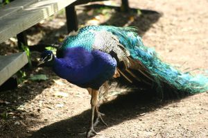 STOCK PHOTO peacock3 by MaureenOlder