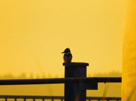 Kingfisher On Post by wolfwings1