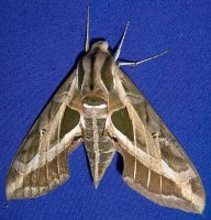 Sphinx Moth I by KW-stock