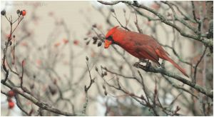 Very berry - Northern Cardinal Dec 2,11 by Martzart