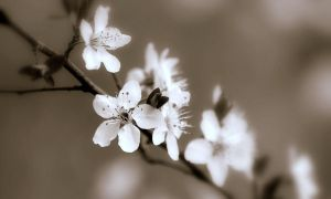 Blooms in Sepia by Sunira