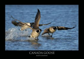 Canada goose.1 by THEDOC4