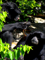 siamang duo by digitaltvirus