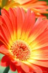 Flowers | Gerbera | I by Wings-Photo