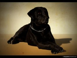 Labrador by IshqAatish