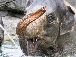 Asian Elephant by ARC-Photographic