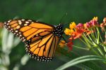 Monarch Butterfly by Lenscoveredeye