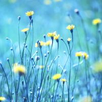 Dandelion Meadow by incolor16
