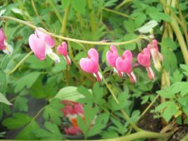 Bleeding Hearts Dripping Blood by icrybehindsunglasses
