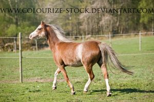 Welsh Mare 3 by Colourize-Stock