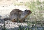 ground squirrel 5 by theresashaw