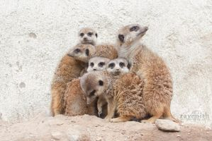 Meerkat family. by Ravenith