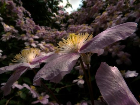 Clematis 5 by Lupsiberg