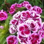 Dianthus barbatus (Sweet William) by hazeldazel