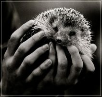 Hedgehog in hands by DmitryKozachenko