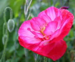 field poppy by evelynzee