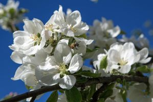 Flowering appletree nr 5 - with bee by attomanen