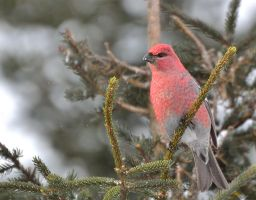 Male Pine Grosbeak by Sonussilentii