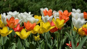 Tulips 4 by Placi1