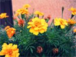 Pollyanna flower. by may-flower-smile