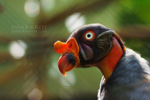 King Vulture by ERB20