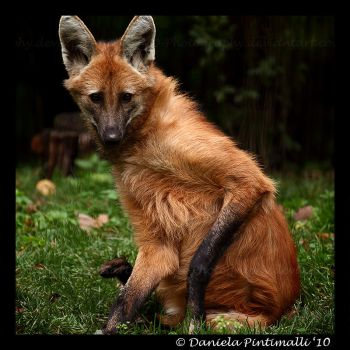 Maned Wolf II by TVD-Photography